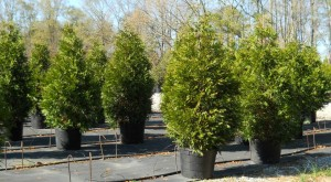 Green Giant Arborvitae Trees Athens Georgia