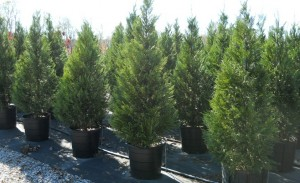 Leyland Cypress Trees Athens GA Tree Farm