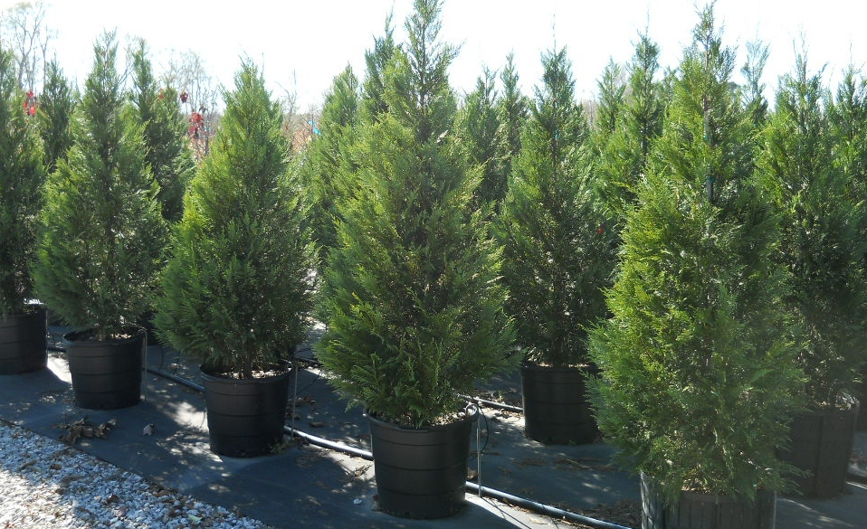 Privacy Trees Privacy Tree Installation Tree Farm Athens