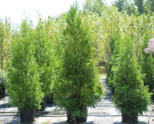 Yoshino Cryptomeria Trees Athens Georgia Tree Nursery