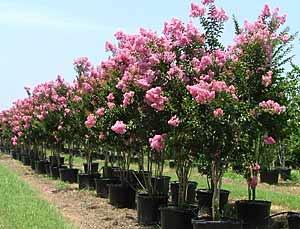 Athens Tree Farm Buy Trees Online